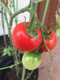 赤いトマト.JPG